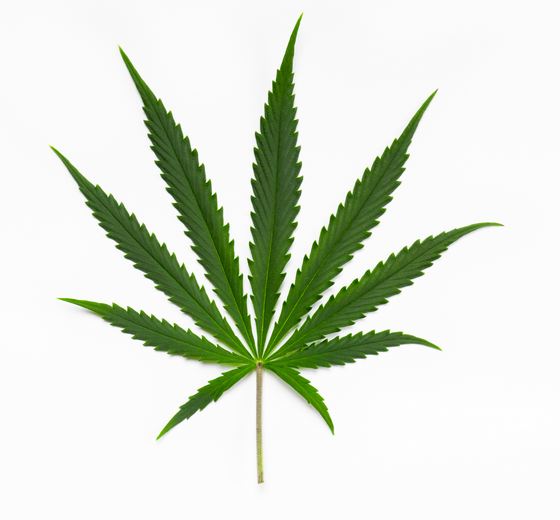 Discorso diverso vale per ciò che cresce dai semi di cannabis sativa: esse sono foglie che assumono dimensioni più sottili e strette.