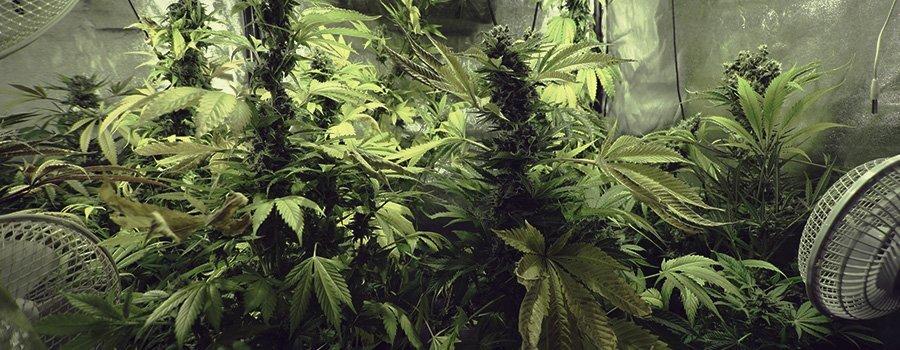 La varietà di marijuana Northern Lights compare tra le genetiche più semplici da coltivare e gestire anche per I neofiti che desiderano ottenere un'ottima resa produttiva, senza tuttavia la necessità di investire eccessivo impegno, cure e manutenzione continua nella coltura.