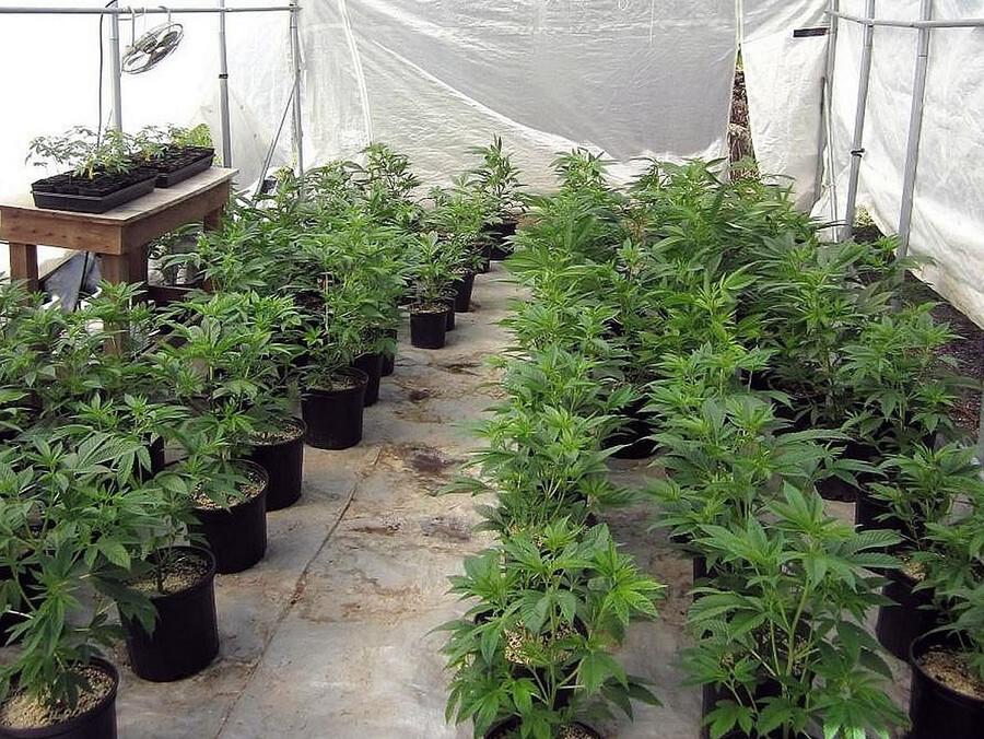 Come coltivare la Pineapple Express