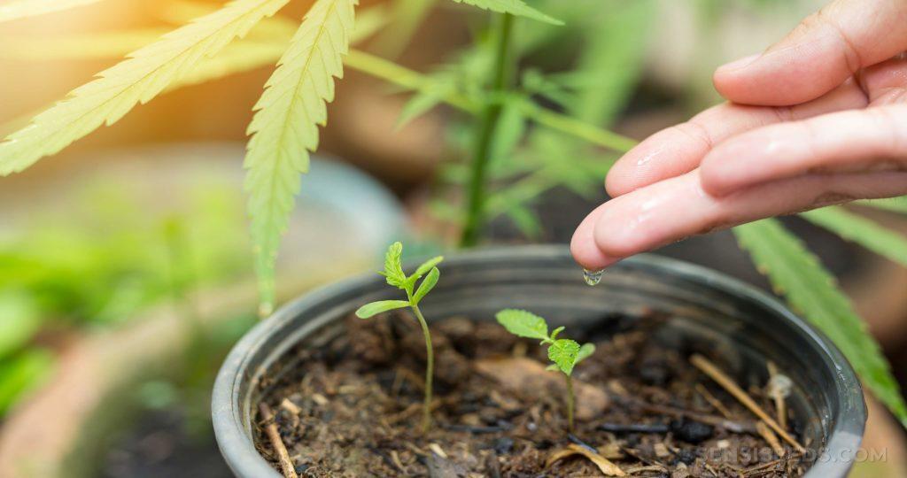 Come preparare in casa un terriccio ottimale per la coltivazione della cannabis
