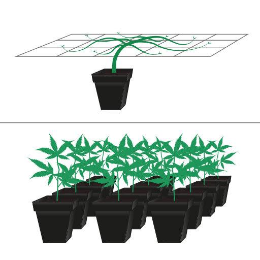 """Spesso le persone tendono a confondere il metodo SOG (""""Sea of Green"""") con il metodo SCROG (""""Screen of Green"""")."""