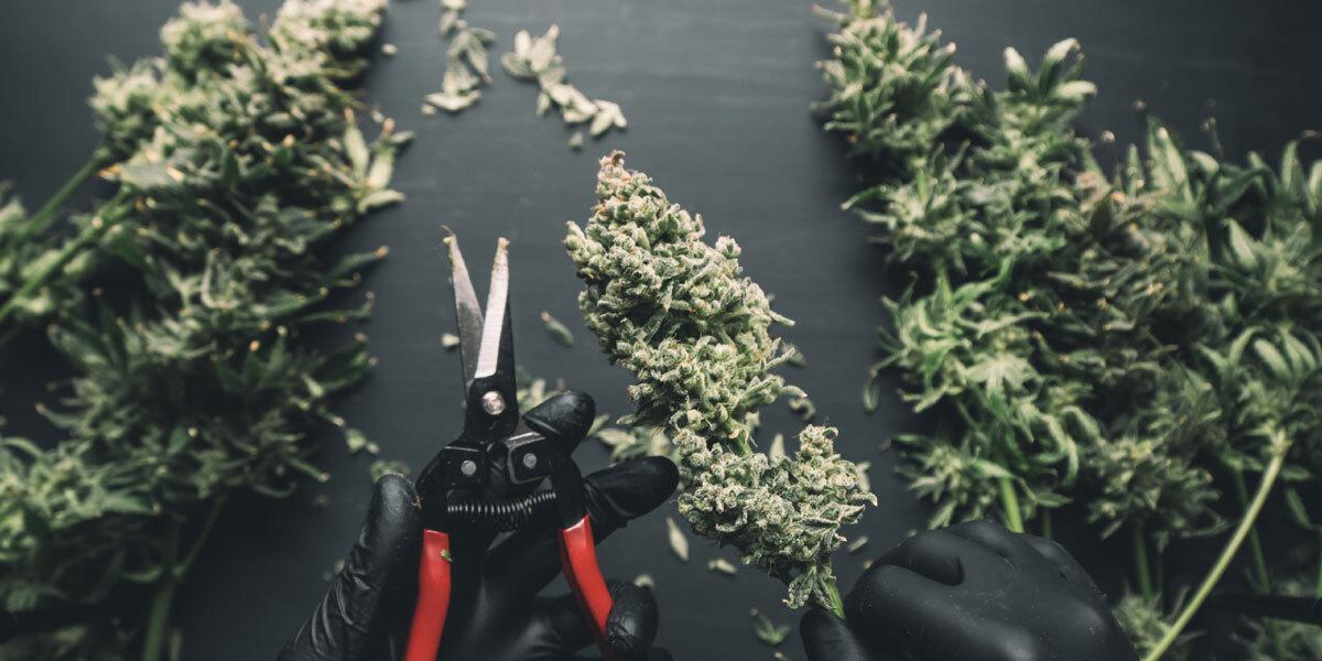 L'essiccamento della cannabis permette di convertire il THC dalla forma acida cruda e priva di effetti psicoattivi alla forma neutra e psicoattiva. Diversamente l'erba, per quanto buona, non sarà mai potente come auspicato.