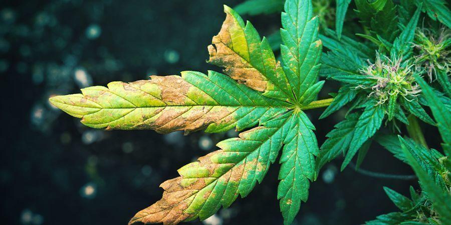 Le piante che assorbono troppa acqua possono subire gravi danni all'interno. Infatti assorbire troppa acqua porta a far gonfiare , fino a farle spezzare,le cellule all'interno delle foglie.