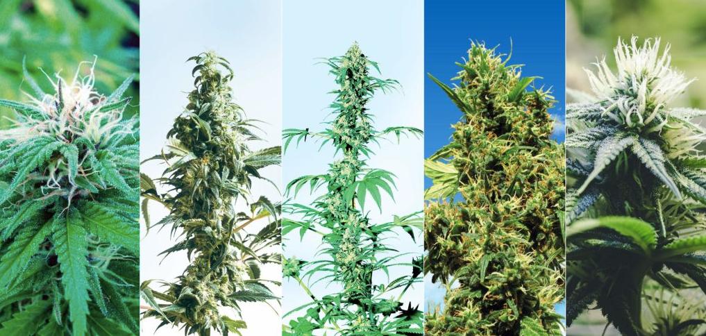 Foto marijuana le immagini delle varietà più conosciute