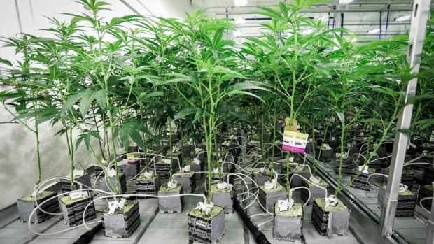 Questo è un tipo di coltivazione che corrisponde alla cosiddetta coltivazione idroponica, queste sono molto diverse in relazione al pH perché non sono fatte in terra, ma in questo caso in fibra di cocco.