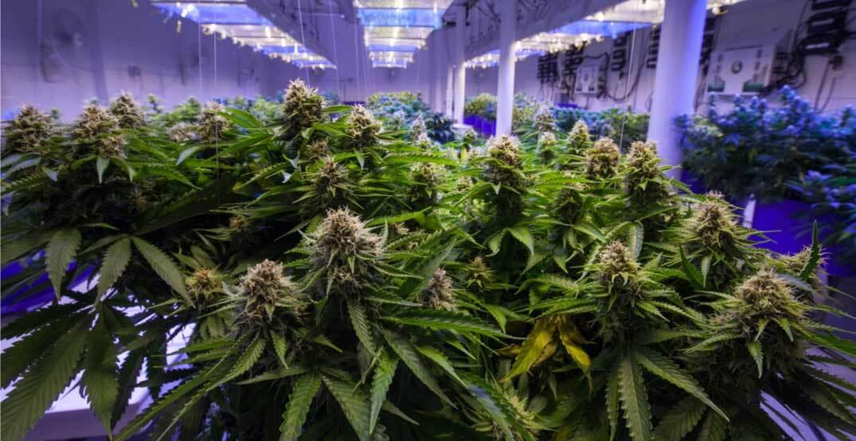 La coltivazione indoor, rispetto a quella outdoor, presenta numerosi vantaggi: può essere effettuata in qualunque periodo dell'anno; è al riparo da occhi indiscreti;  ha tempi di crescita brevi, con raccolti abbondanti.
