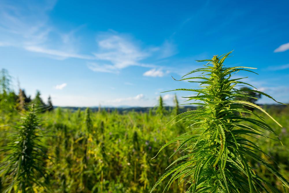 La coltivazione outdoor, ovvero coltivata all'aperto, è, ovviamente, quella più tradizionale e naturale: le piante sono collocate in terra, che sia in vaso o in pieno campo, e crescono all'aria aperta.