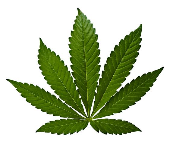Le foglie della varietà indica tendono ad assumere delle dimensioni larghe e corte.