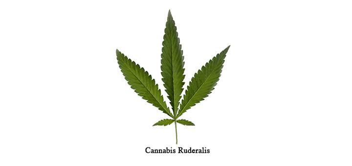 Forse, tra le varie tipologie di foglie di cannabis, la varietà ruderalis ha origini migliaia di anni fa in Asia, Europa centrale e orientale, in particolare in Russia dove, ancora oggi, continua a crescere in modo selvatico.
