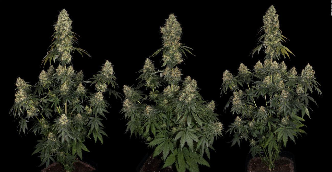 Moby Dick è senza alcun dubbio la varietà di marijuana tra le più note, creata da Dinafem, seeds bank di Amsterdam che compare tra le più rinomate e prestigiose al mondo.