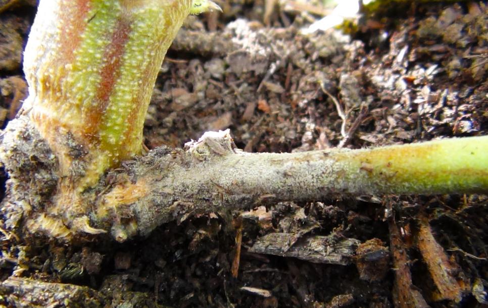 Detto anche soffocamento, più che una malattia è una condizione che porta al marcire dei semenziali sottoterra.  Tale condizione può essere causata da diversi funghi portati dai semi o terreni e le coltivazioni nel terreno sono le più colpite.