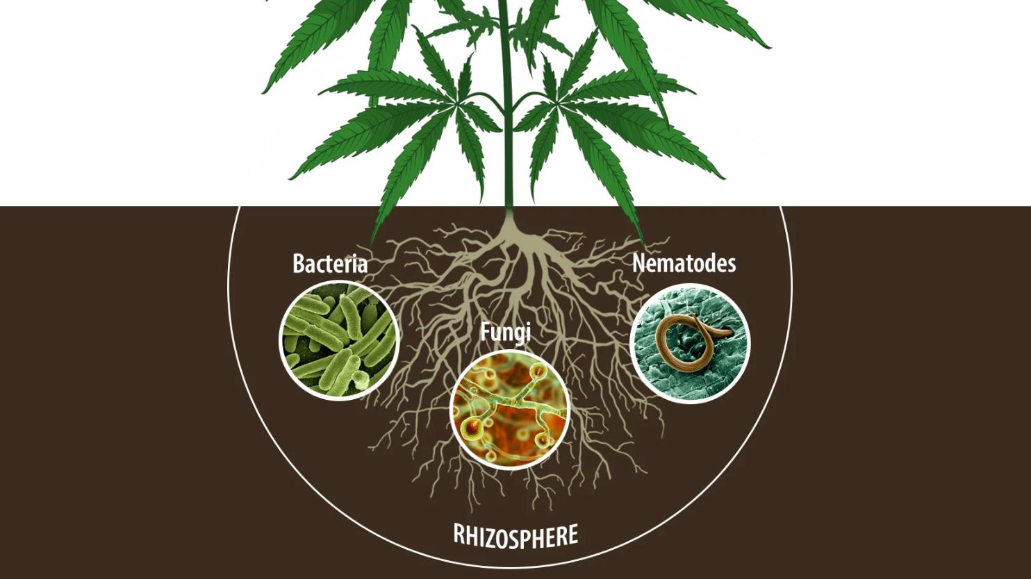 Nematodi parassiti della marijuana
