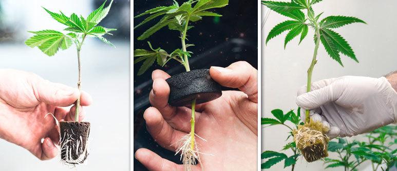 Creare nuove piante dalla genetica preferita o i fenotipi più caratteristici è estremamente semplice e divertente. Vediamo come creare e mantenere le piante madri oer ottenere buone talee di canapa legale.