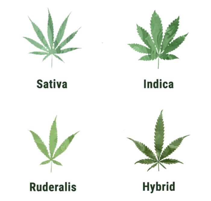 Capire e usare le foglie di marijuana