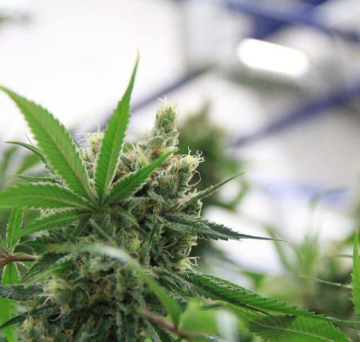 In questa guida illustreremo come agire dunque nella totale legalità e come coltivare marijuana in casa senza incorrere in qualsivoglia procedimento penale.