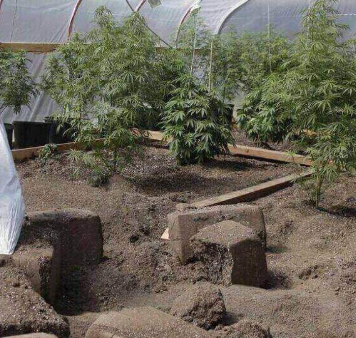 Guano di pipistrello e cannabis