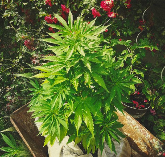 Guida cannabis
