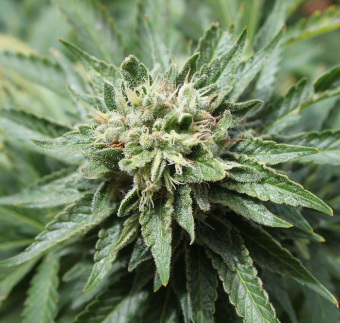 Terpeni Cannabis
