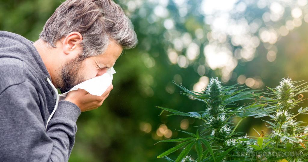 Allergia cannabis