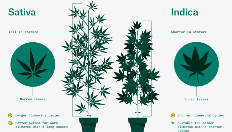 Come è fatta la foglia di marijuana