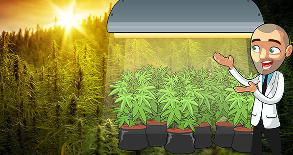 Coltivare cannabis: pro e contro dell'illuminazione naturale