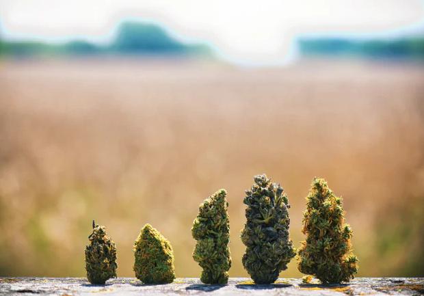 Quando si può considerare alto il livello di THC di una pianta?