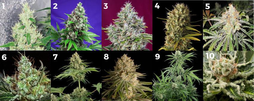Top 10 delle varietà di cannabis sativa con più alto contenuto di THC