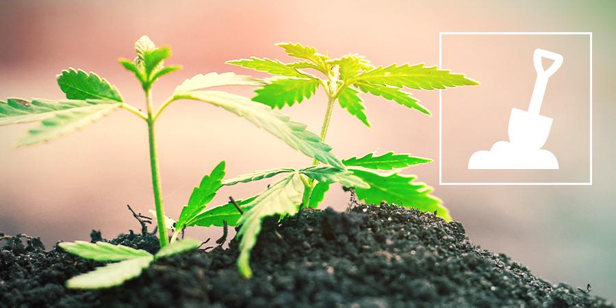 caratteristiche deve avere il terriccio per coltivare la cannabis