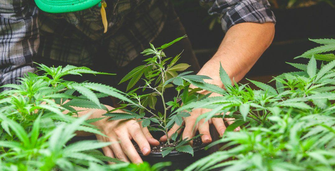 Abbiamo visto come l'essiccamento della cannabis richieda precisione, dedizione e attenzione al fine di beneficiare di tutti i piacevoli effetti psicotropi e psicoattivi che solo l'erba buona è in grado di restituire.
