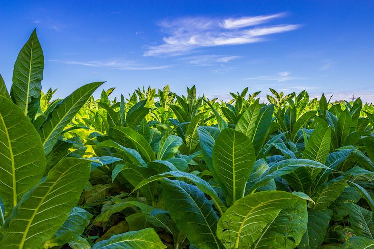 Coltivare il tabacco è peraltro relativamente semplice questo poiché gli esemplari sono robusti e particolarmente robusti, perfettamente adatti al clima mite e temperato del Mediterraneo.