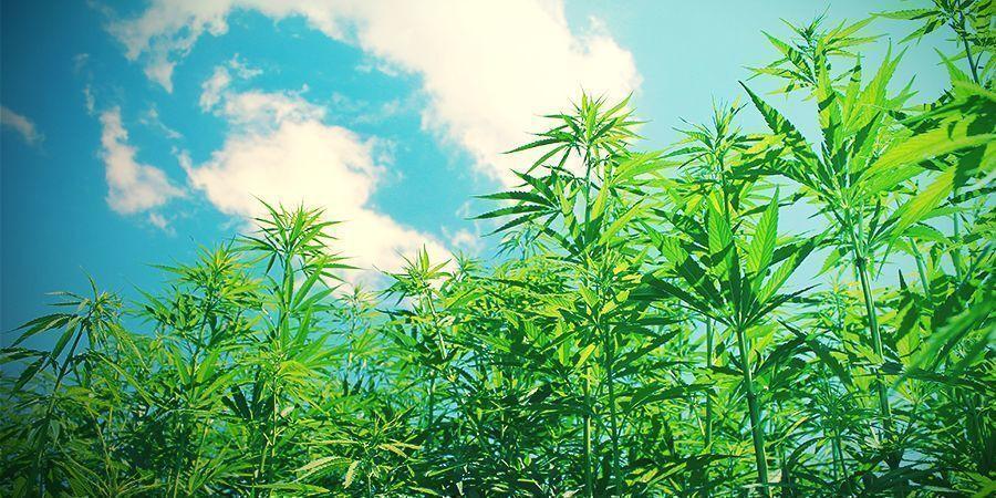 Se l'idea di coltivare cannabis biologica all'aperto comincia a solleticare il tuo interesse, qui di seguito ti forniamo alcuni consigli di carattere generale che ti aiuteranno a scegliere al meglio il terreno su cui questa si svolgerà.