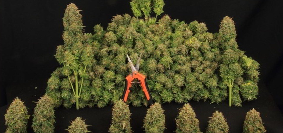 Sapere quando è il momento giusto per raccogliere la cannabis, così come essere in grado di essiccarla in modo adeguato e corretto è a dir poco fondamentale se si desidera ottenere un prodotto finale di elevata qualità.