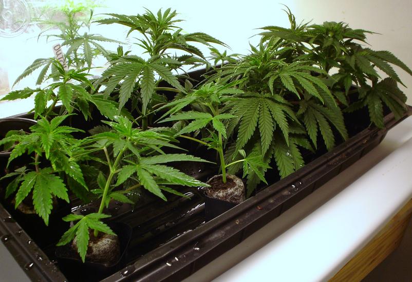 Usare gli ormoni radicanti nella coltivazione della marijuana non è affatto semplice e utilizzo corretto degli ormoni radicanti si impara generalmente con l'esperienza e la sperimentazione.