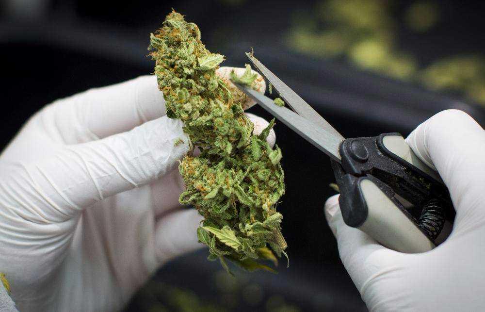 L'essiccatura della cannabis comporta una progressiva perdita di liquidi all'esterno delle infiorescenze, mantenendo al loro interno una certa umidità
