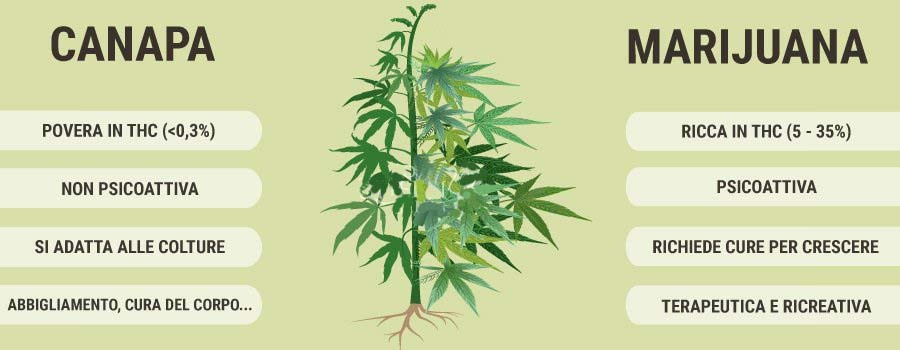 Qual è la percentuale di THC della canapa legale e della marijuana illegale?