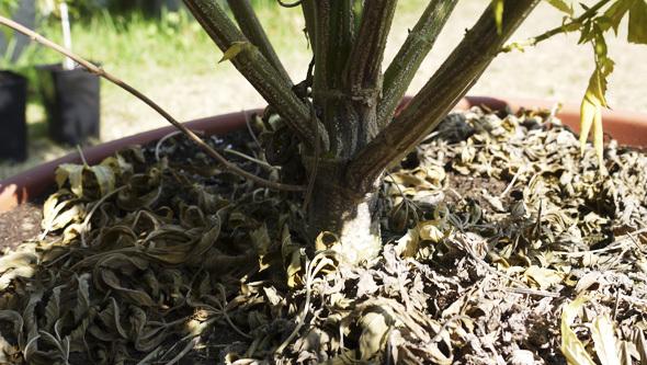 Sono funghi che vivono nel terreno e variano tra molte specie e sottospecie.  Parecchi ceppi possono colpire la cannabis.