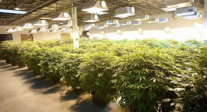 lampade per coltivare marijuana