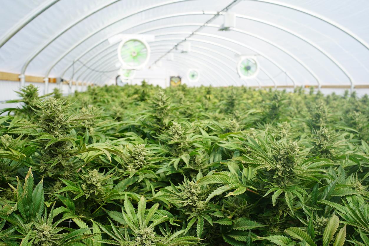 La marijuana, spesso definita in alternativa mediante termini quali erba, ganja o kief. Ecco tutto quello che è necessario sapere circa la marijuana e relativi derivati.