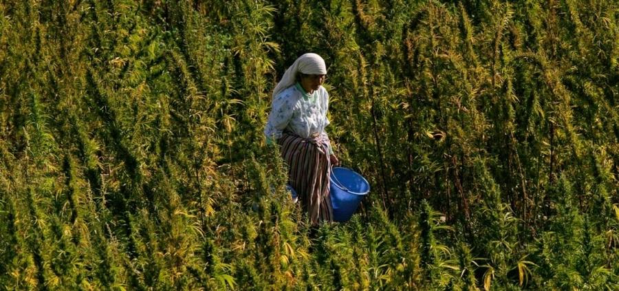 Dove si coltiva la cannabis