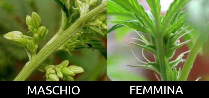 Maschio / Femmina Cannabis