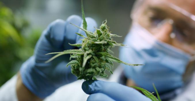 Come usare la cannabis nella cura della fibromialgia