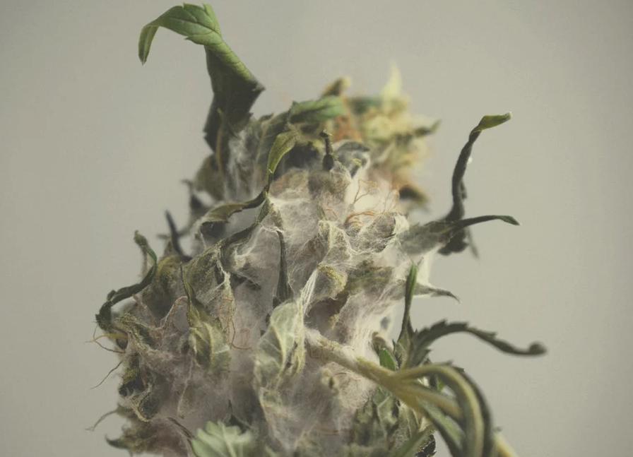 Anche la muffa è una malattia fungina che può colpire la pianta di marijuana. In particolare la muffa grigia è la più comune che attacca la marijuana.  Essa può causare rammollimenti e cancro al gambo, ma gli effetti più devastanti possono essere la decomposizione delle radici.