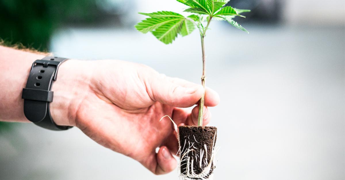 Gli ormoni radicanti sono da sempre impiegati nelle coltivazioni di cannabis per agevolare lo sviluppo del sistema radicale delle piante.
