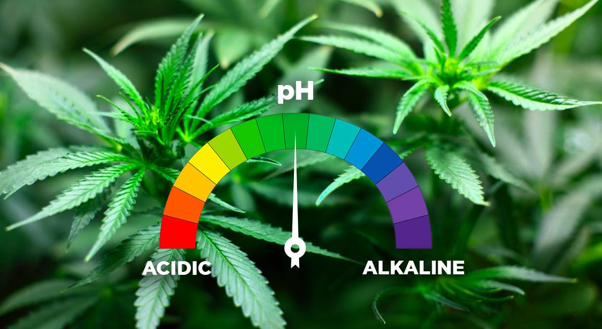 Un buon coltivatore deve cercare di creare le condizioni e l'ambiente giusto, tenendo conto dell'illuminazione, della temperatura, dell'umidità, senza tralasciare un elemento fondamentale, ovvero il pH.