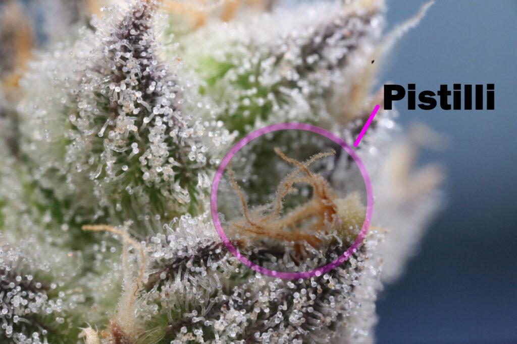 I pistilli contengono le parti riproduttive del fiore e comprendono piccoli filamenti, simili a capelli, chiamati stigmi.