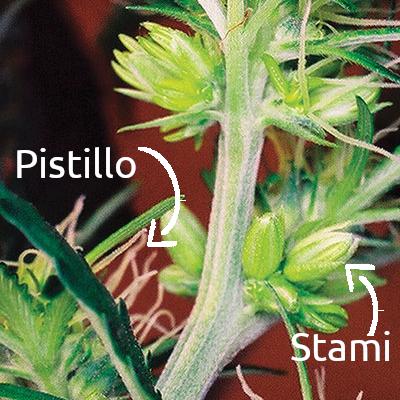 Da un punto di vista botanico la Cannabis sativa è una pianta dioica. E' un termine che si riferisce alla riproduzione sessuale delle piante.