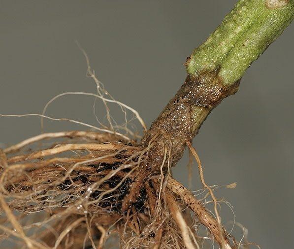 Il Pythium è un altro fungo parassita che distrugge la radice e impedisce alla pianta di nutrirsi. Attacca principalmente i semi e i semenzali che hanno poca resistenza alle malattie.