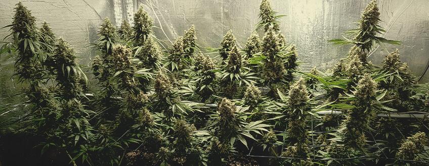 Shining silver haze cannabis