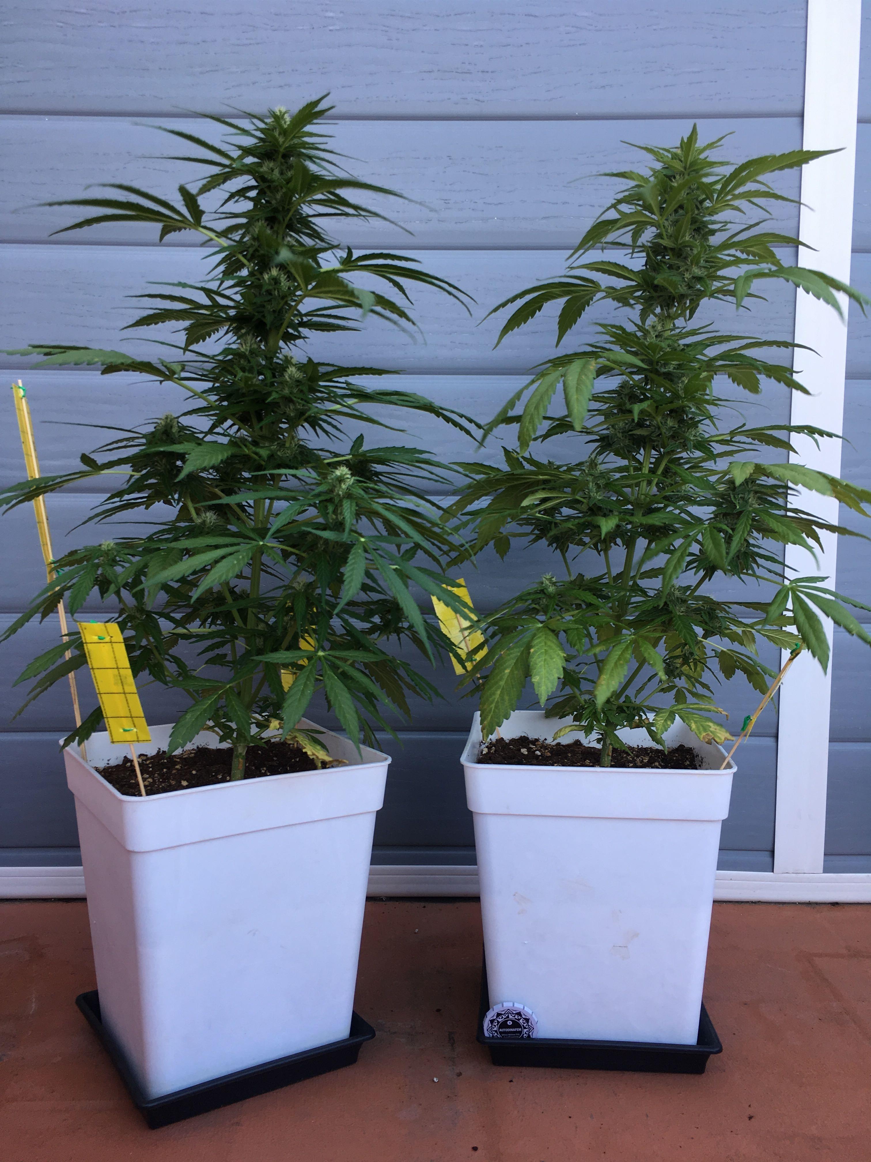 Per chi vuole cimentarsi nella coltivazione di Sour Diesel, l'opzione migliore è quella di utilizzare semi di cannabis autofiorenti.