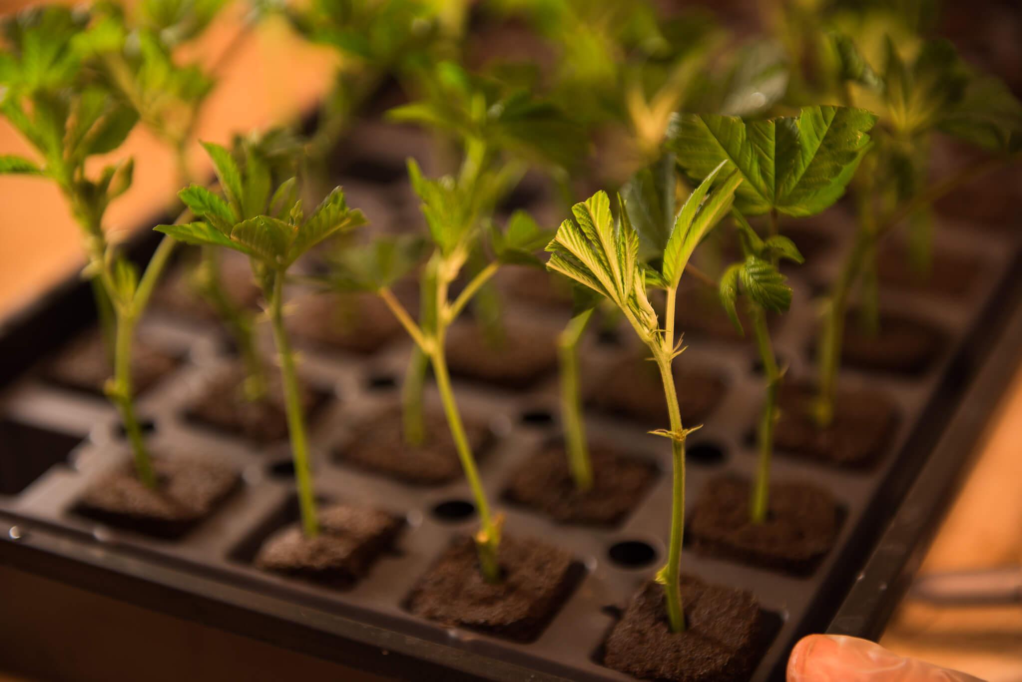 Talee, porzioni di ramo per piante perenni